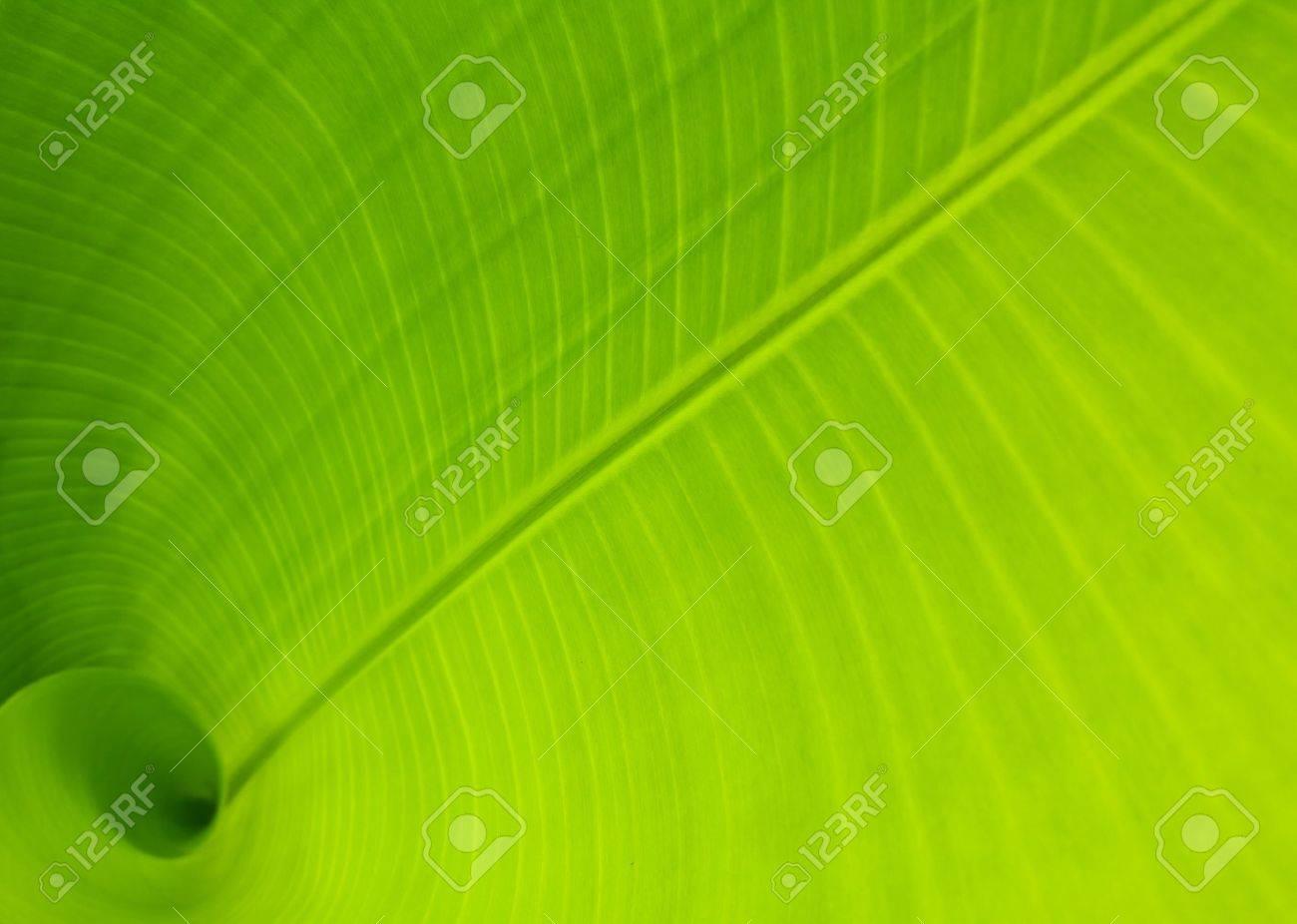 Banana leaf use as background Stock Photo - 9482344