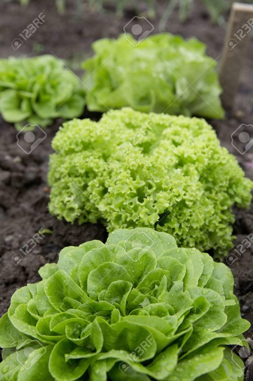 bio self-sufficiency garden salad Standard-Bild - 61502325