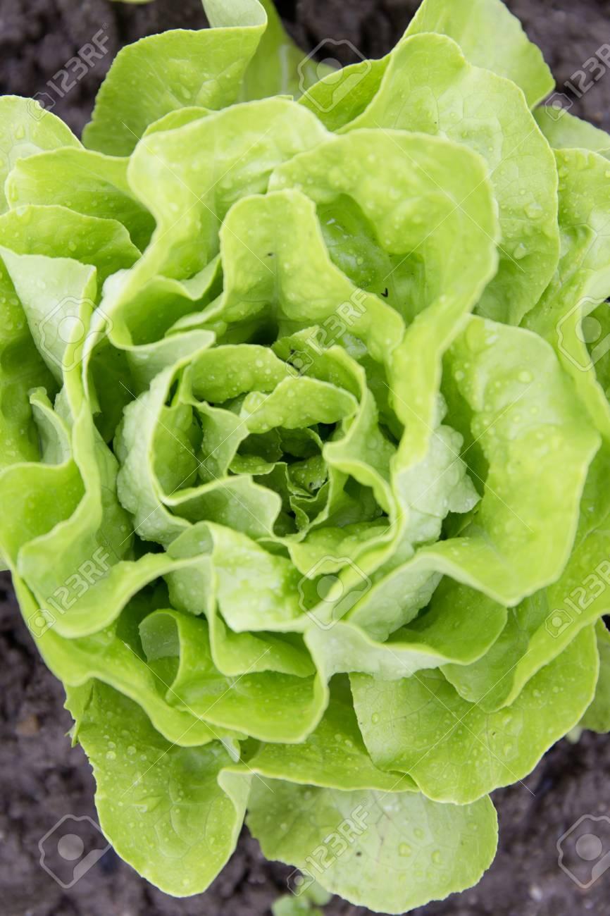 Bio-Autarkie Gartenrettich Standard-Bild - 61502400
