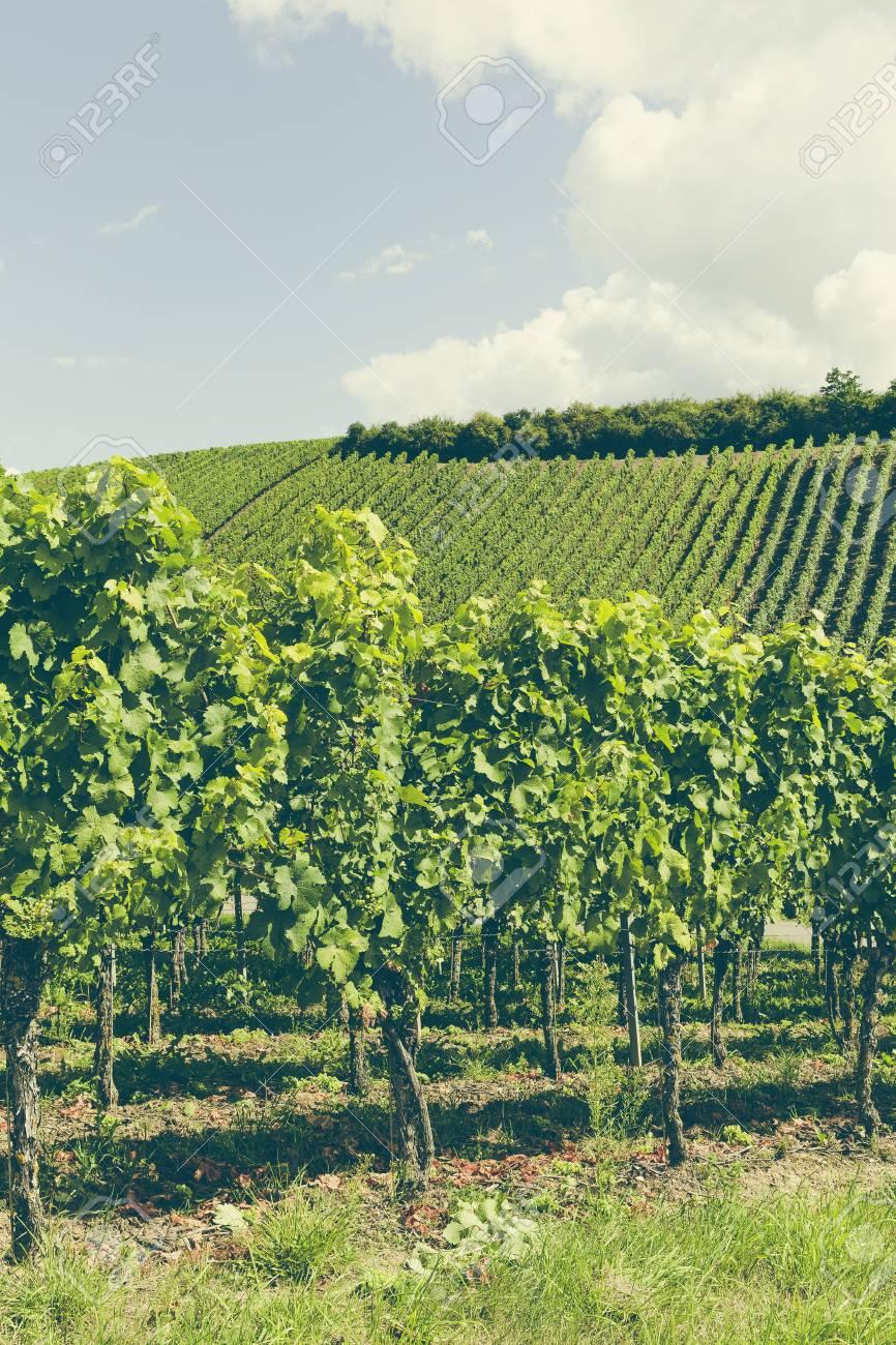 frisch und Landwirtschaft yineyards bio gesteuert Standard-Bild - 64713105