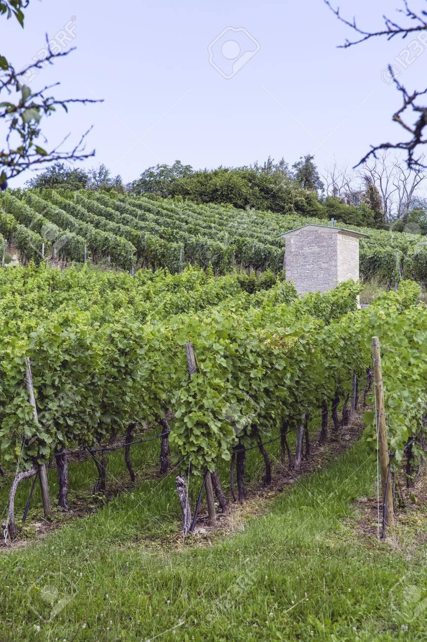 fresh and bio controlled farming yineyards Standard-Bild - 64713112