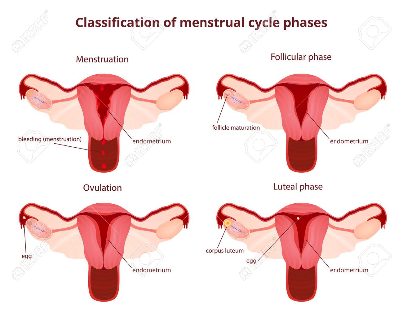 female reproductive system, the uterus and ovaries scheme, the phase of the menstrual cycle - 56801822