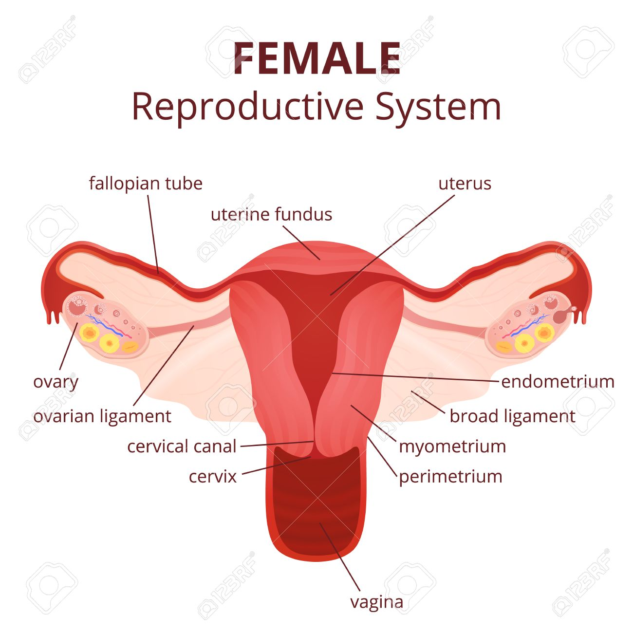 Female Reproductive System The Uterus And Ovaries Scheme The