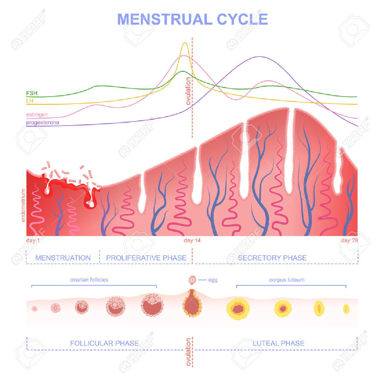 ovarian cycle phase, level of hormones female period, changes in the endometrium, uterine cycle - 57878171