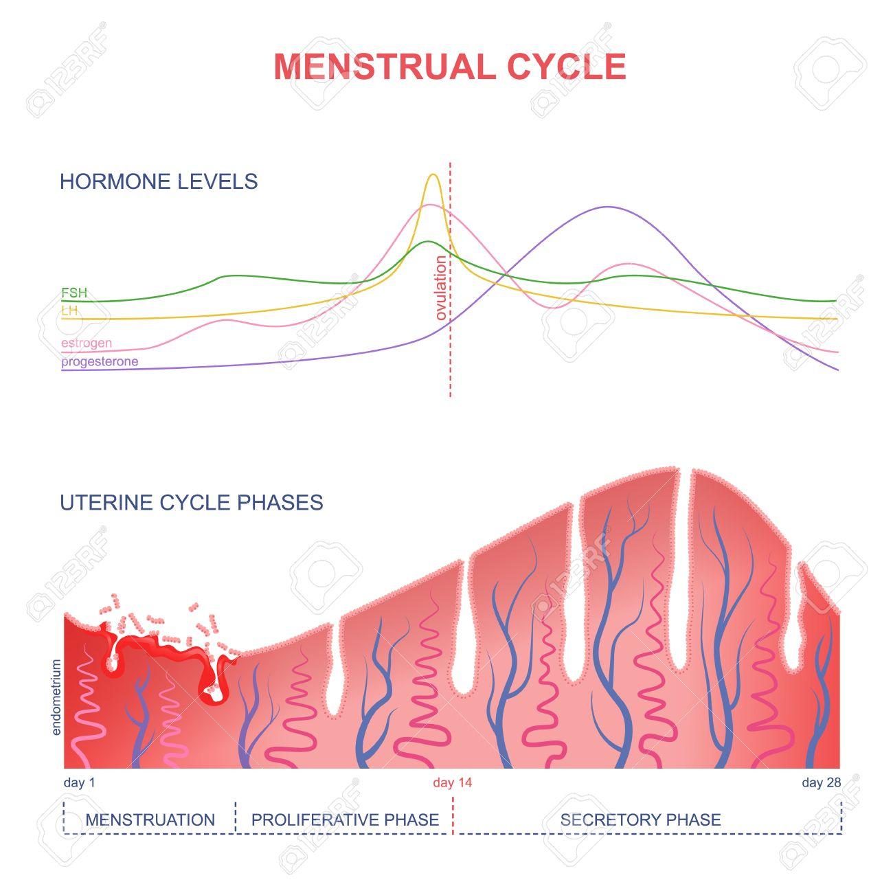Niveau Der Hormone Weiblichen Periode, Veränderungen In Der ...