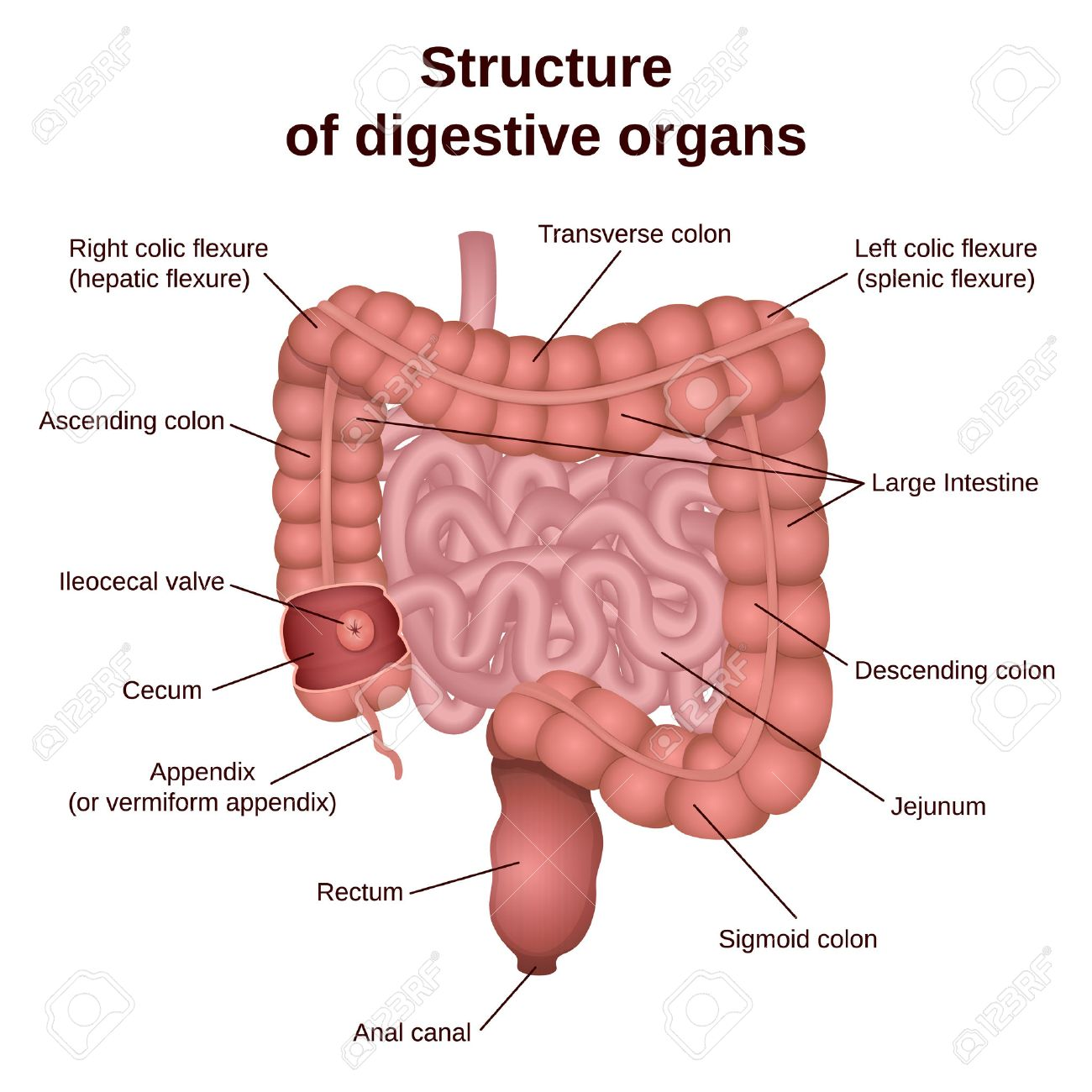 Circuit Structure Of The Digestive System, Colon And Small Intestine ...