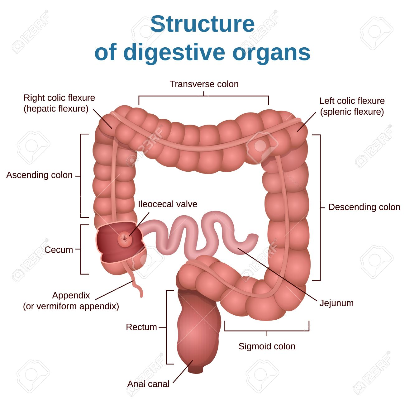 circuit structure of the digestive system, colon and small intestine - 65935539