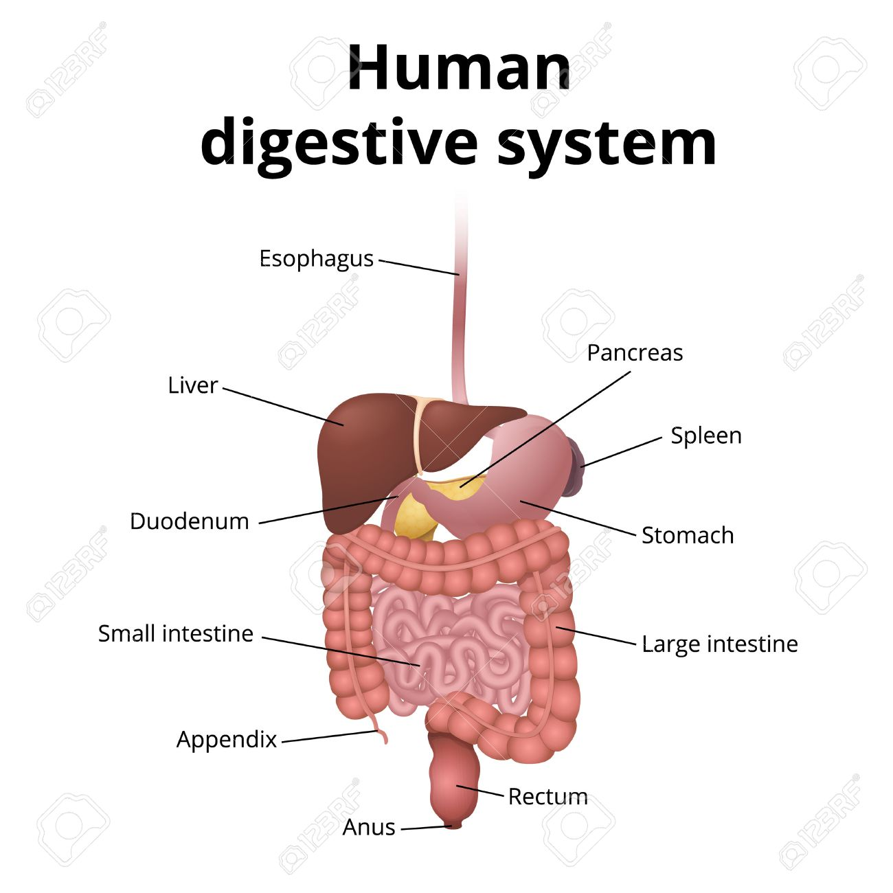 The location of the gastrointestinal tract in the body the human the location of the gastrointestinal tract in the body the human digestive system stock vector ccuart Gallery