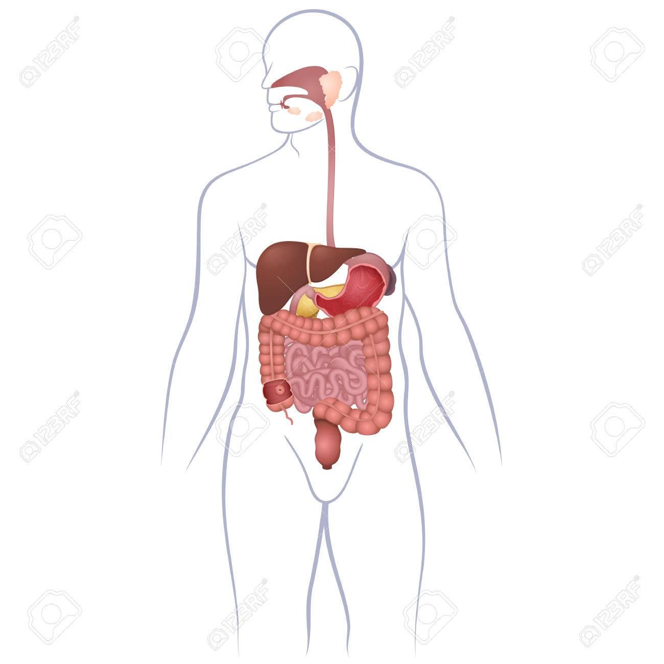 Die Lage Des Gastrointestinaltraktes In Den Körper, Das Menschliche ...