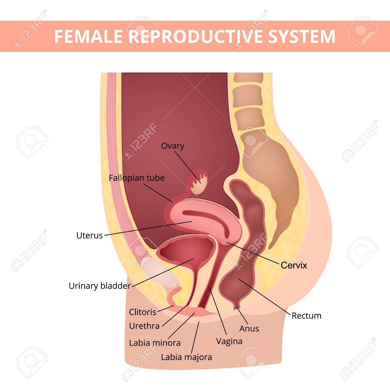 reproductive system - 69629653