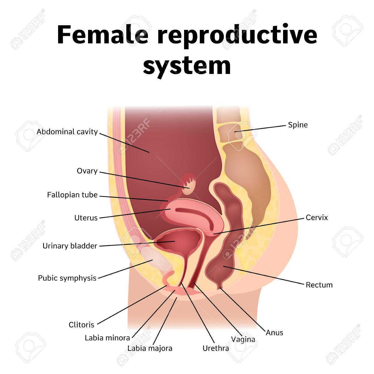 reproductive system - 69629654