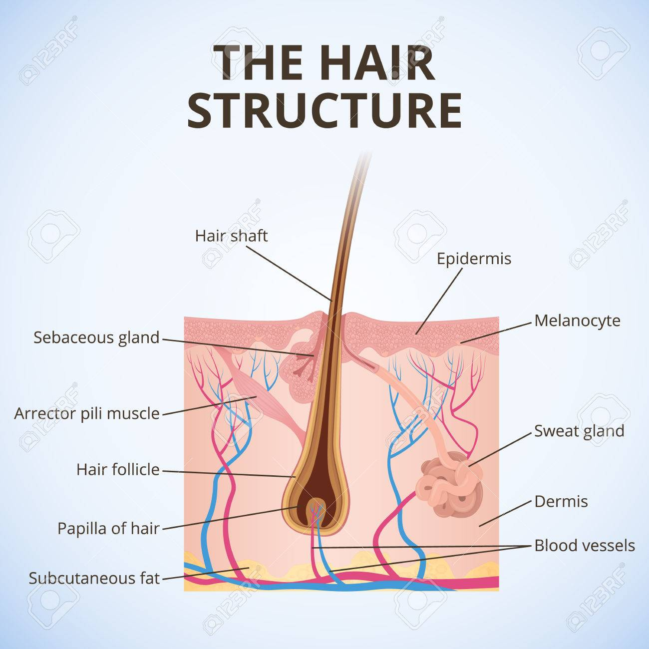 The Structure Of The Hair Royalty Free Cliparts, Vectors, And Stock ...