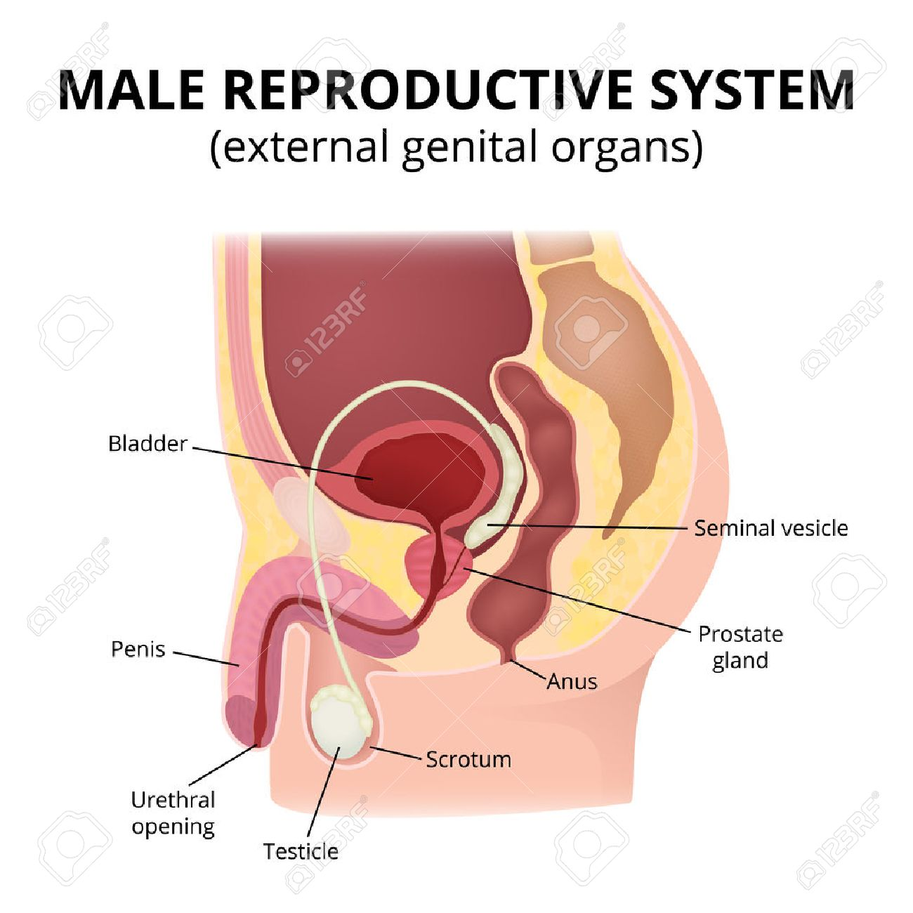 Male Reproductive System Royalty Free Cliparts Vectors And Stock