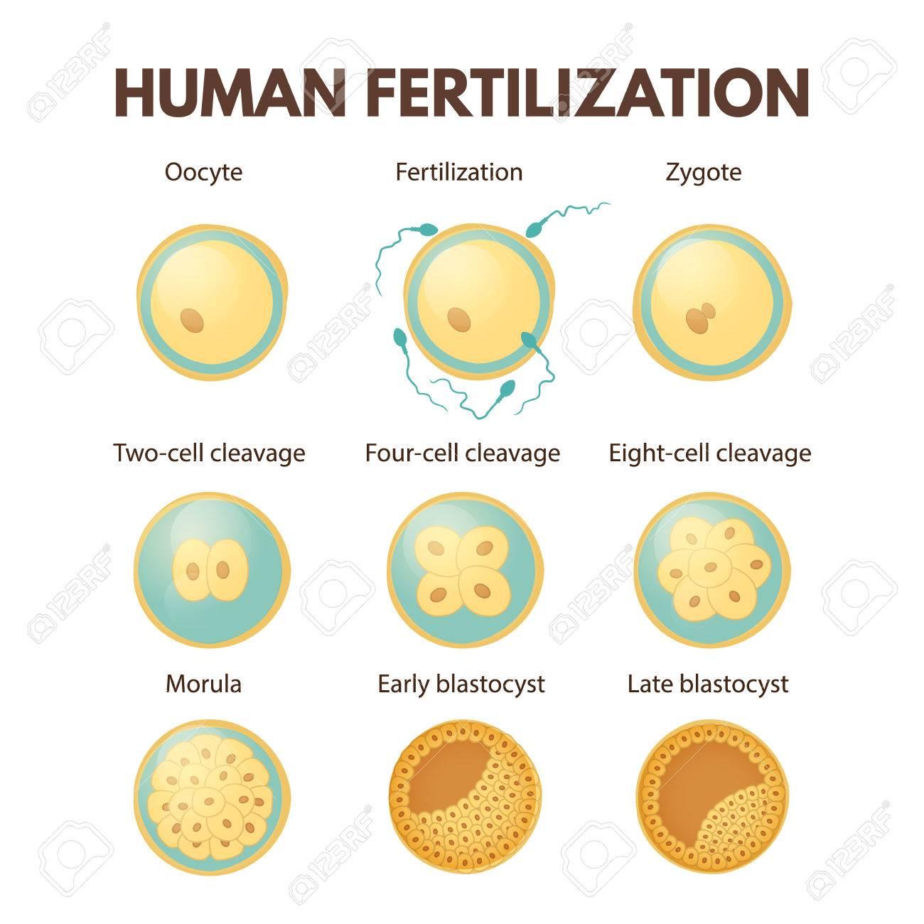 Human fertilization - 86154760