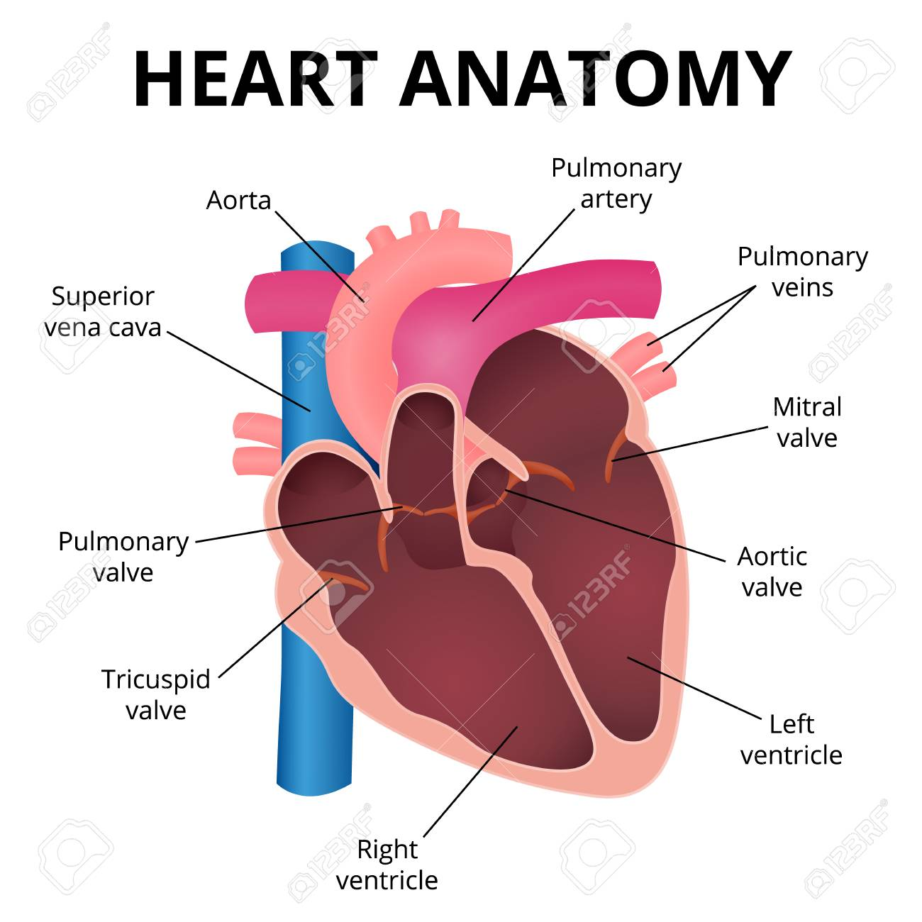 Human heart an organ in a cut the operation of the heart valves human heart an organ in a cut the operation of the heart valves stock ccuart Image collections