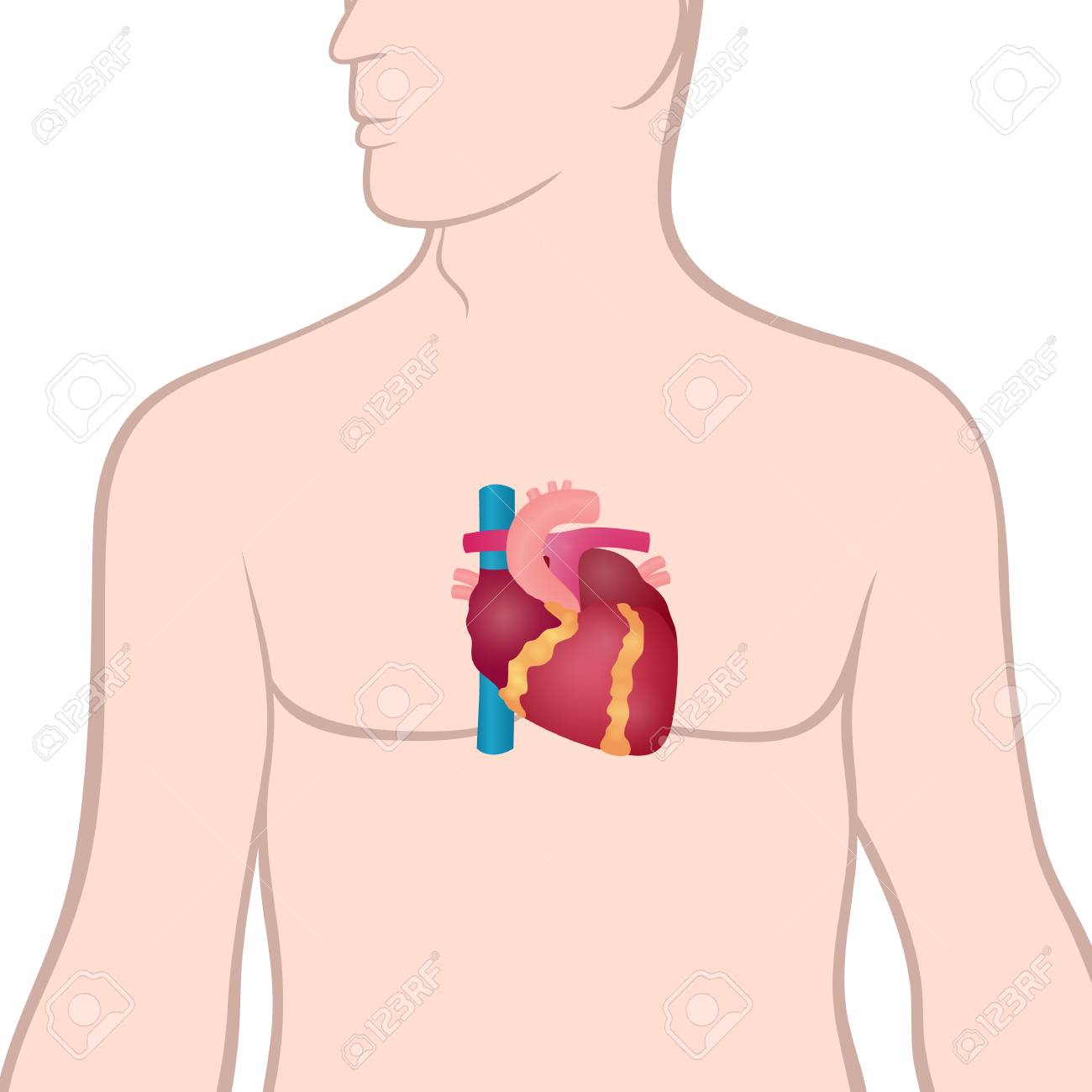 Anatomy Of The Human Heart, The Location Of The Heart In The ...