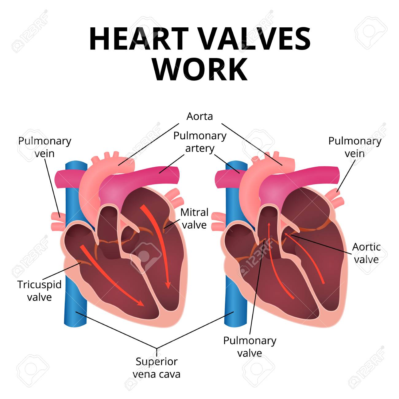 anatomy of the human heart - 94905063