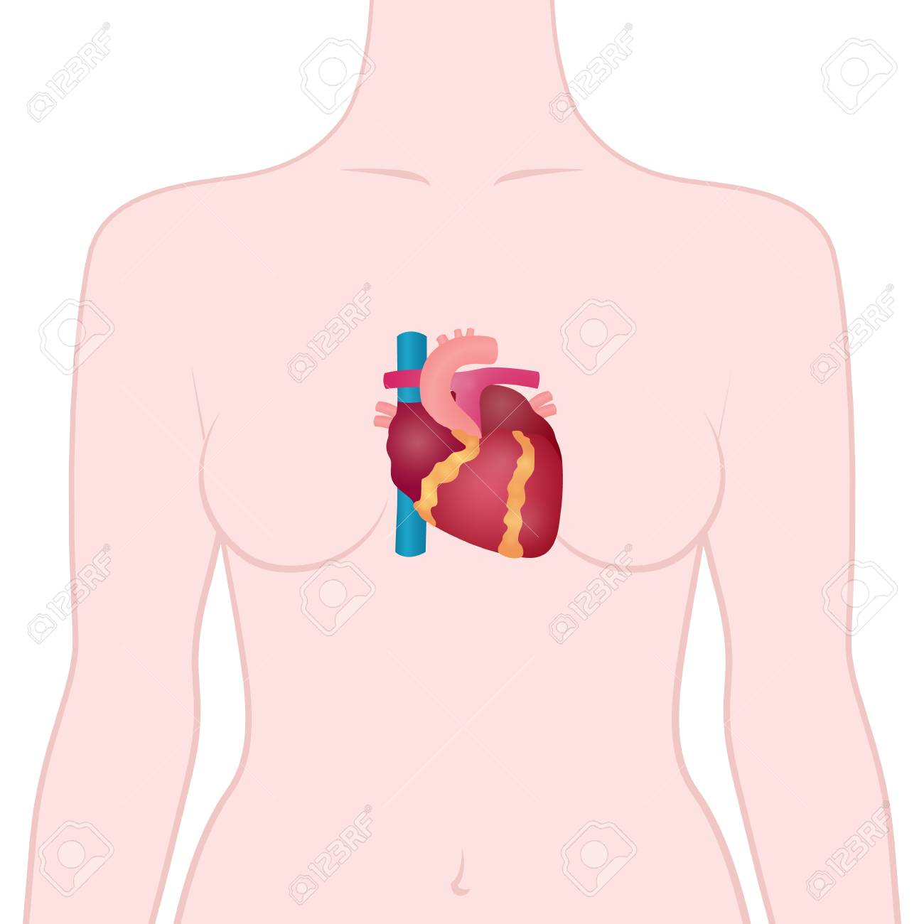 Anatomy Of The Human Heart The Location Of The Heart In The