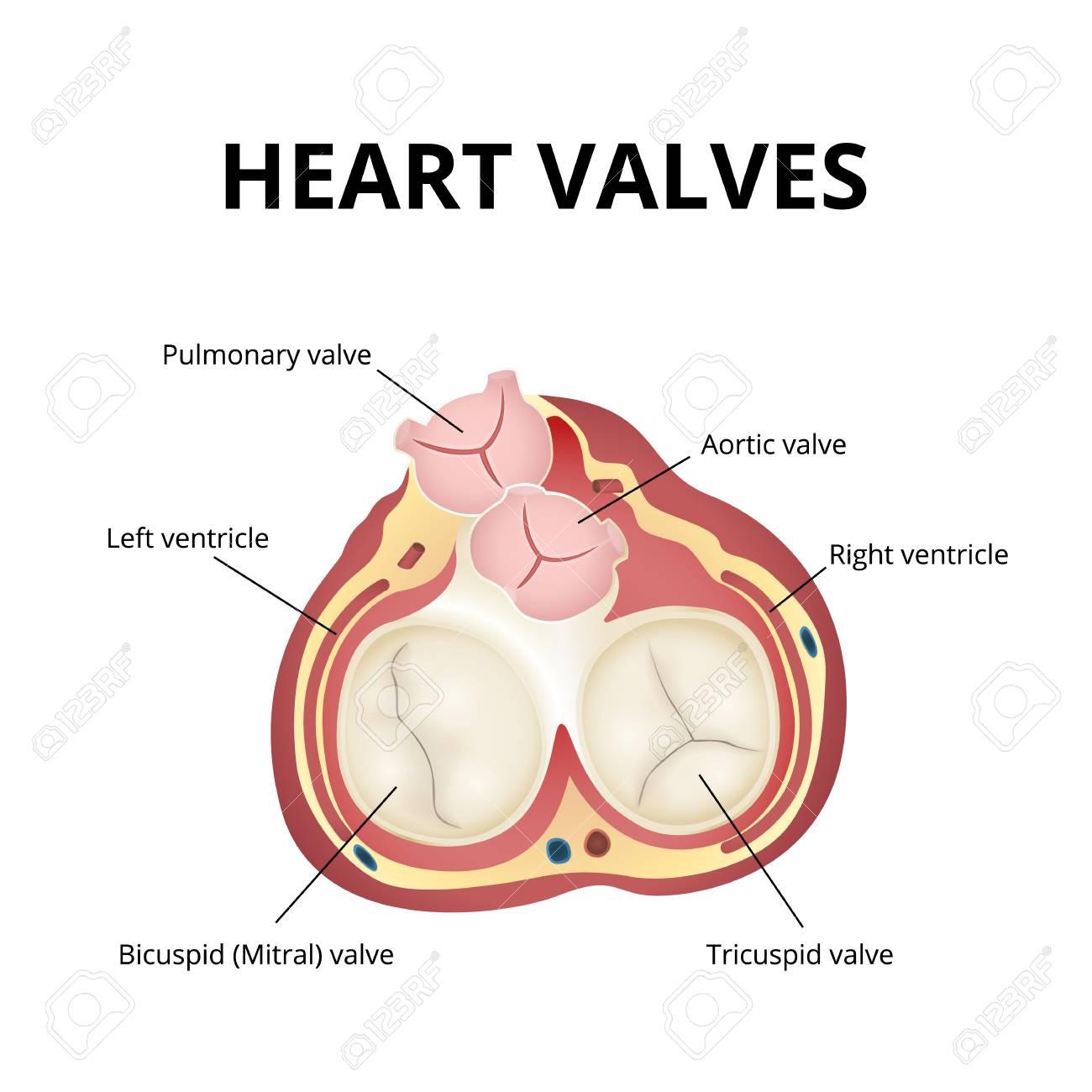 Heart Valves Anatomy Infographic Vector Illustration Royalty Free