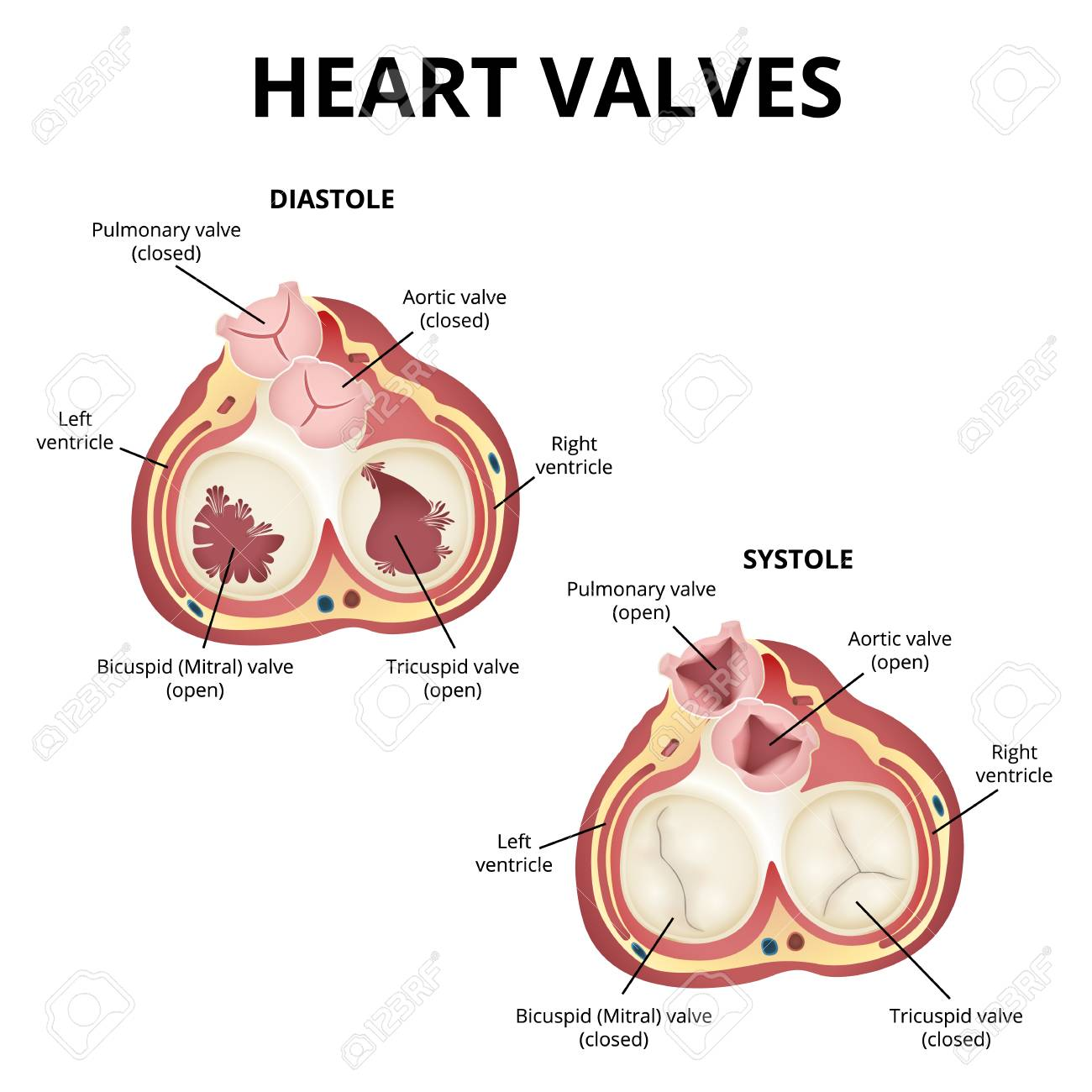 Heart Valves Anatomy Royalty Free Cliparts Vectors And Stock