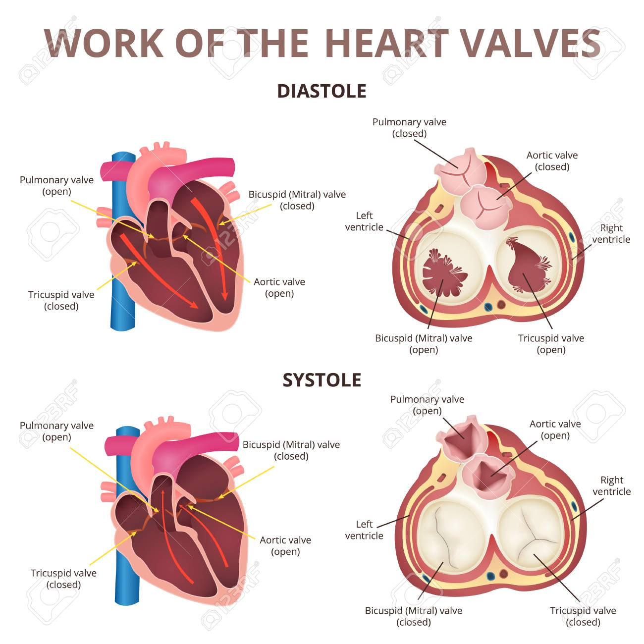Anatomy Of The Human Heart Royalty Free Cliparts Vectors And Stock