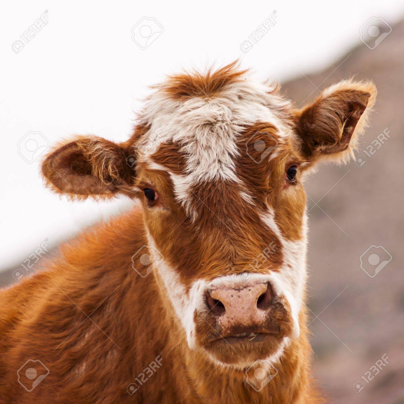 Square shot of a calf Stock Photo - 13248814