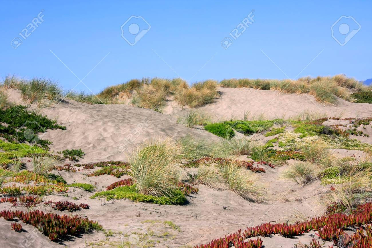 Colorful Plants On Sand Dunes At The California Coast Stock Photo ...