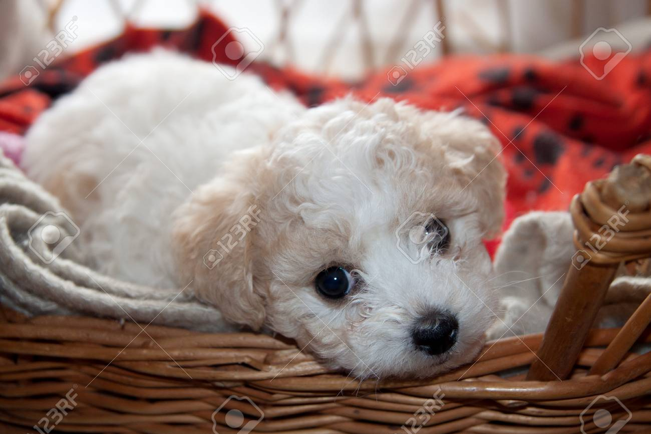 Bison young puppy lying in a basket and looking curiously Stock Photo - 25251331