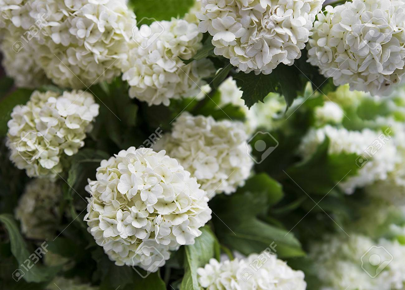 White Snowball Flowers Viburnum Opulus Beautiful White Rounded