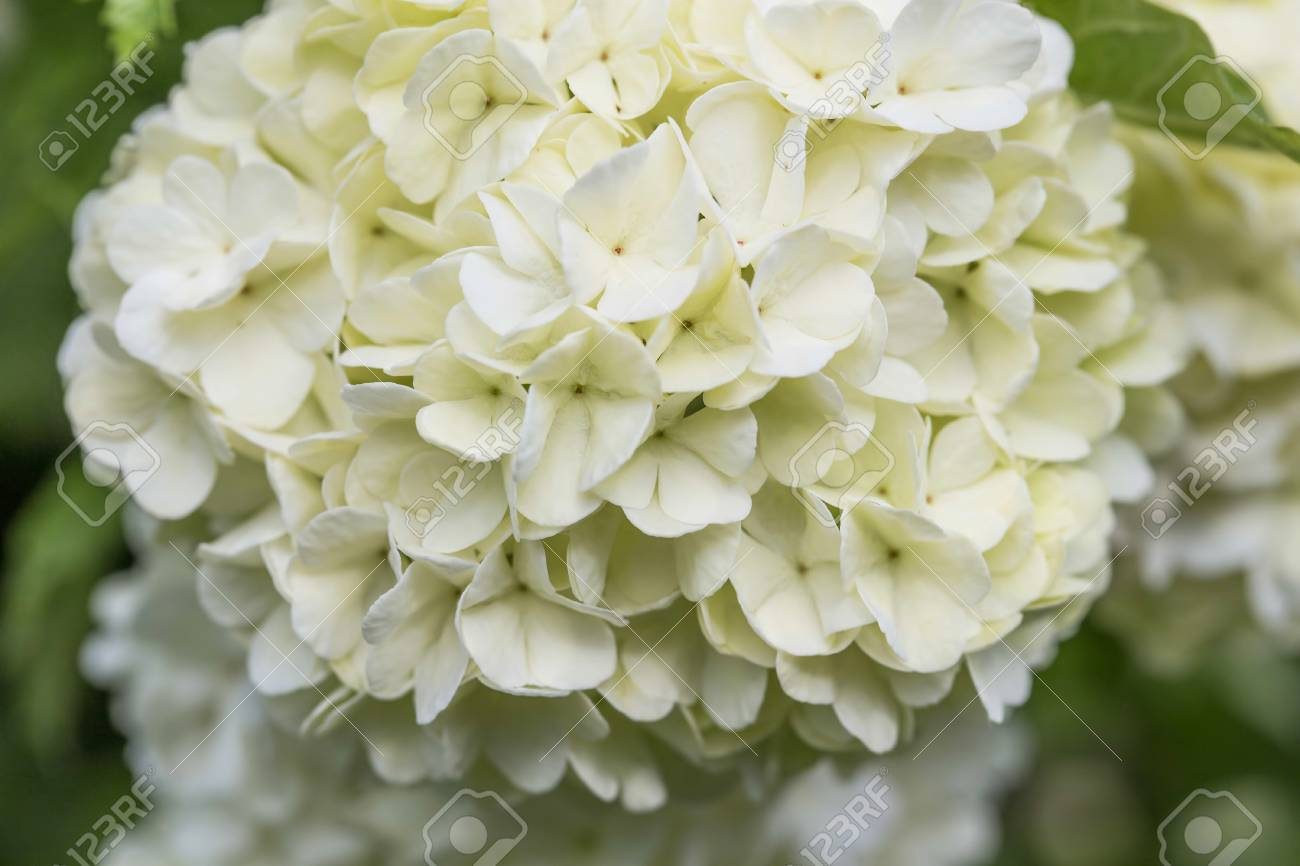 White flowers snowball flowers viburnum opulus ornamental stock photo white flowers snowball flowers viburnum opulus ornamental bush mightylinksfo