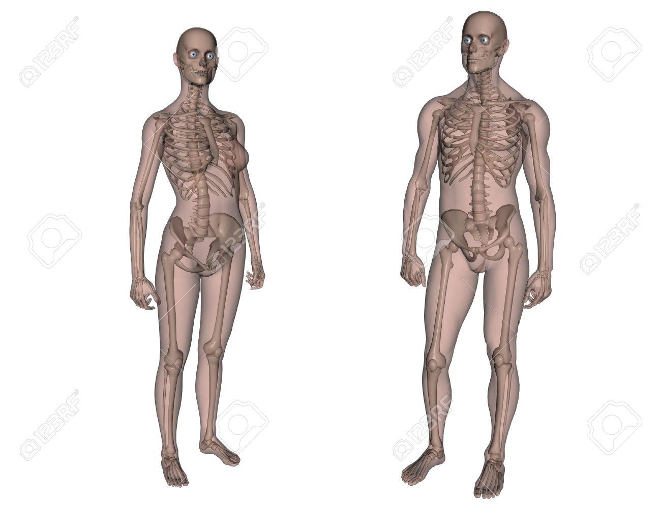 Anatomie. Weibliche Und Männliche Skelett Lizenzfreie Fotos, Bilder ...