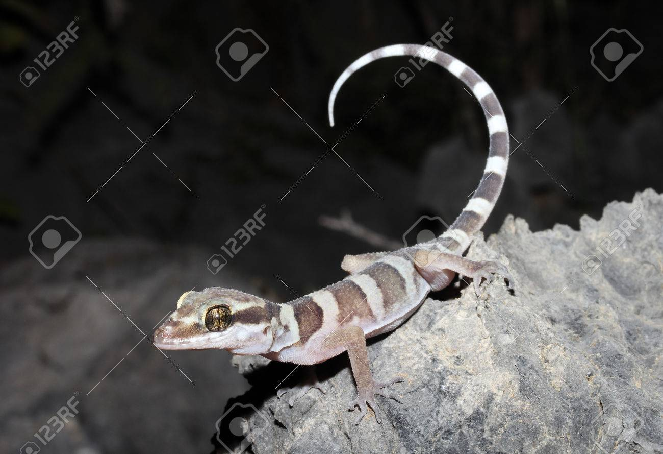 Ring-tailed gecko