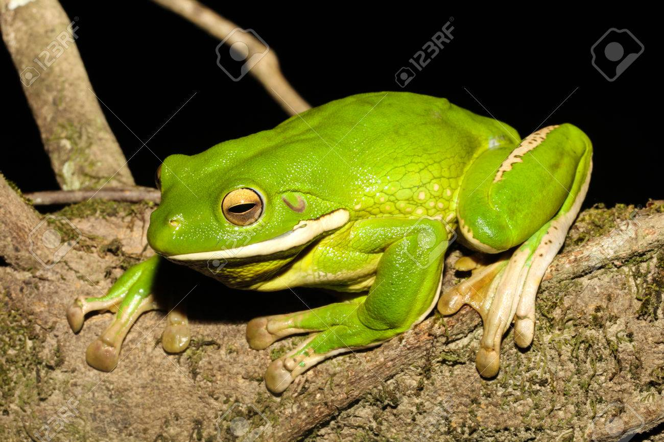 the white lipped tree frog also known as the giant tree frog