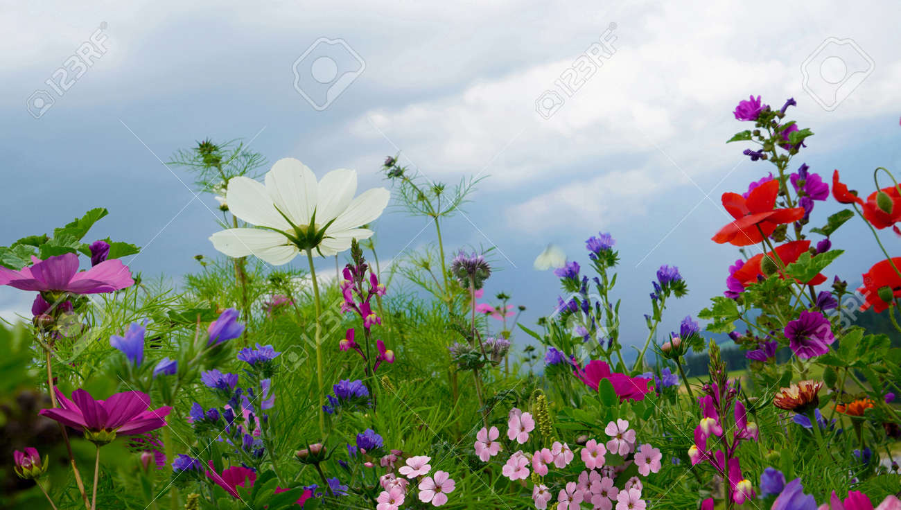Close-Up Of Pink Cosmos Flowers On Field - 154196644