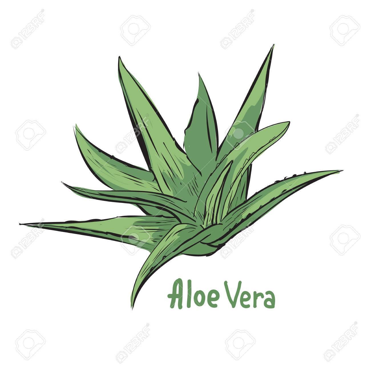 Illustration De L Aloe Vera Ingrédient à Base De Plantes Dans La Cosmétologie Ou De La Pharmacie Croquis De L Usine De Traitement