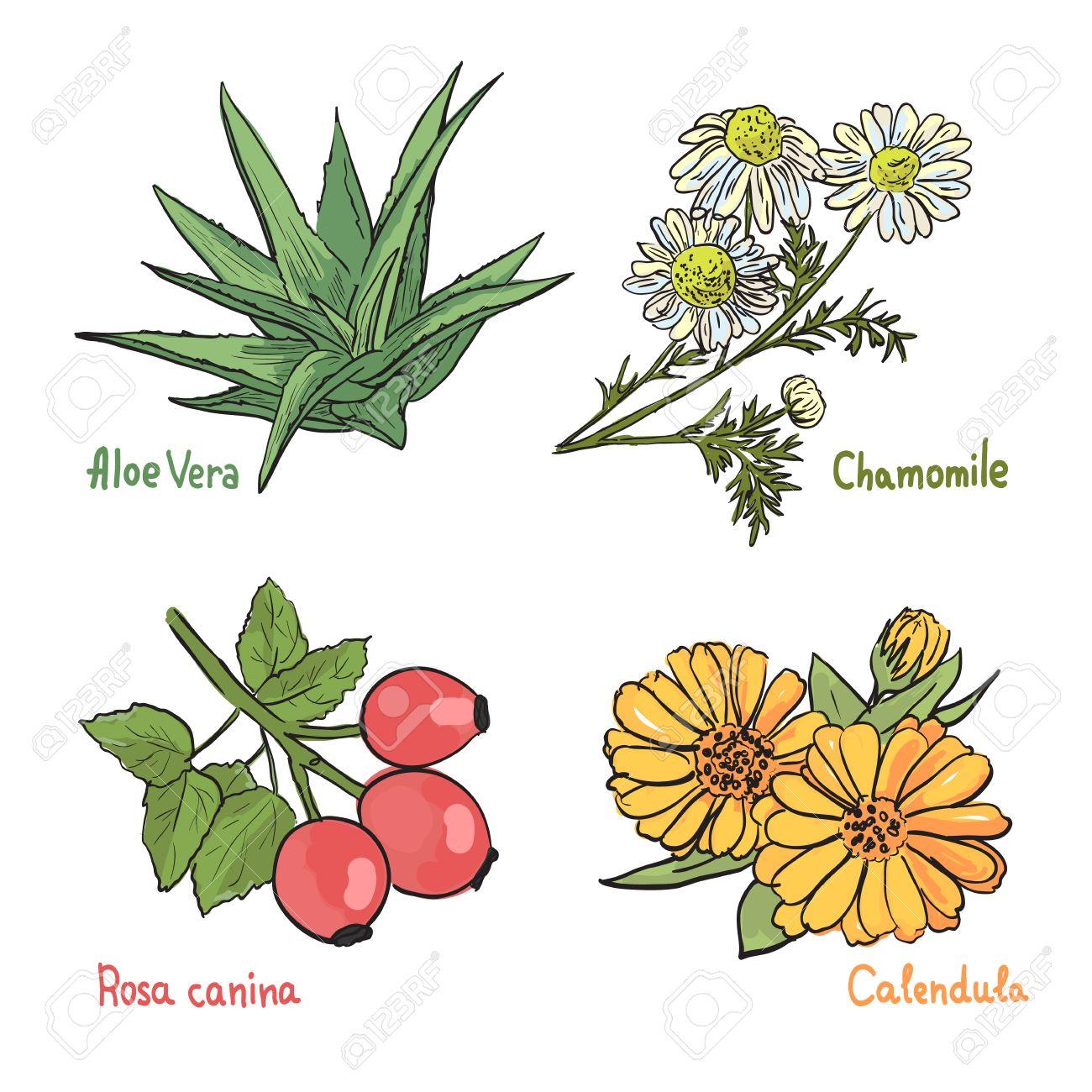 Colección De Diferentes Plantas Medicinales En El Fondo Blanco ...