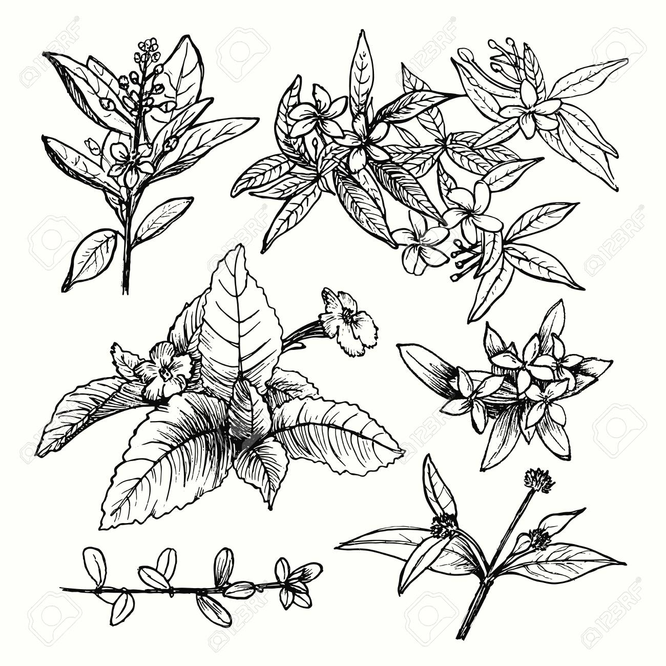 Vector set of hand drawn garden plants, herbs, flowers, leaves, twigs, branches. Vintage floral sketch collection with jasmine. Detailed botanical elements for decoration. - 109902872