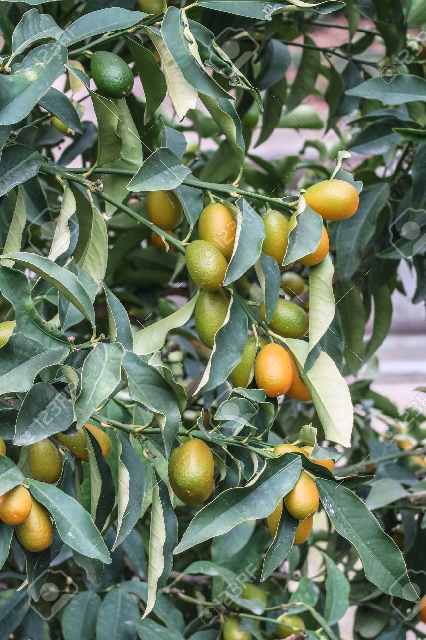 kumquat tree branches closeup stock photo picture and royalty free