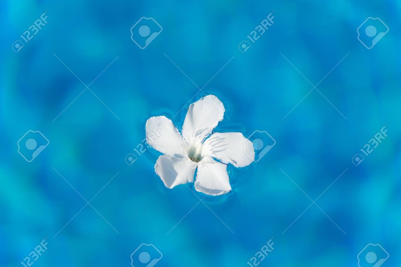 Fleur De Laurier Rose Blanche Flottant Dans La Piscine Ensoleillee L
