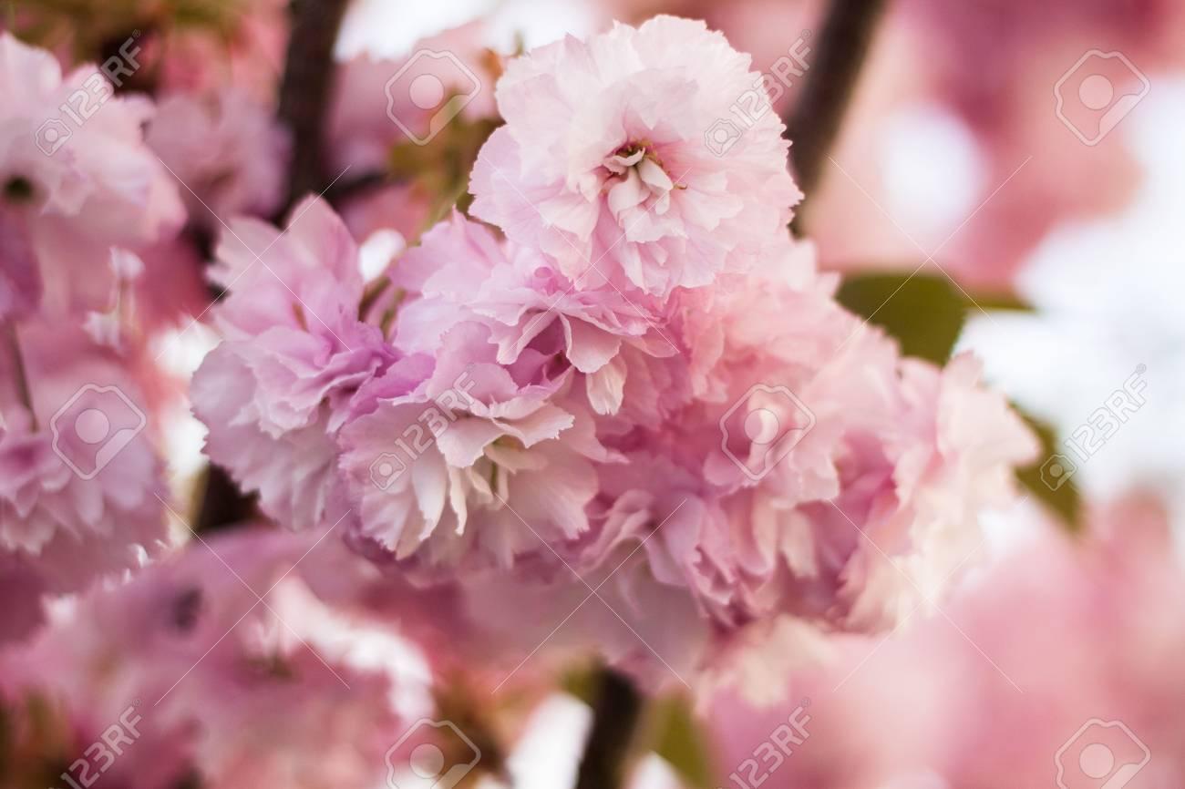 Spring pink tree blossom flowers stock photo picture and royalty spring pink tree blossom flowers stock photo 23295400 mightylinksfo