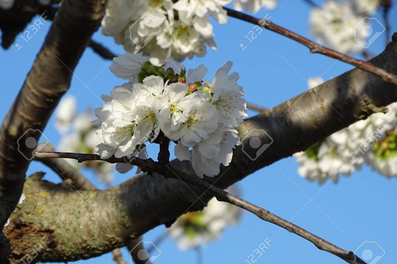 Almond Tree White Flowers Stock Photo Picture And Royalty Free