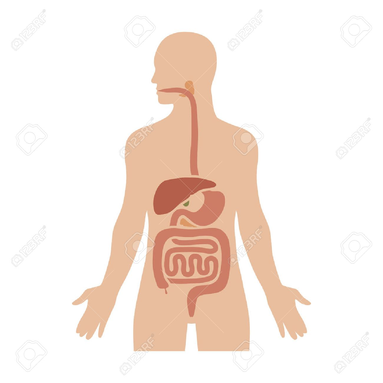 Human Biological Digestive / Digestion System Flat Color Diagram ...