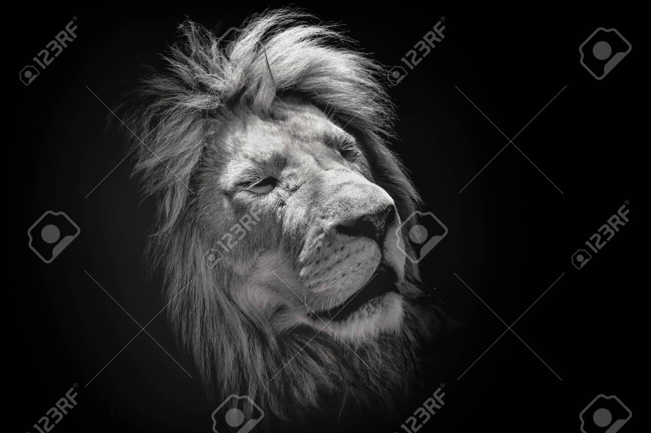 Portrait of a beautiful lion with eyes closed, on the black background. King of animals - 149129862