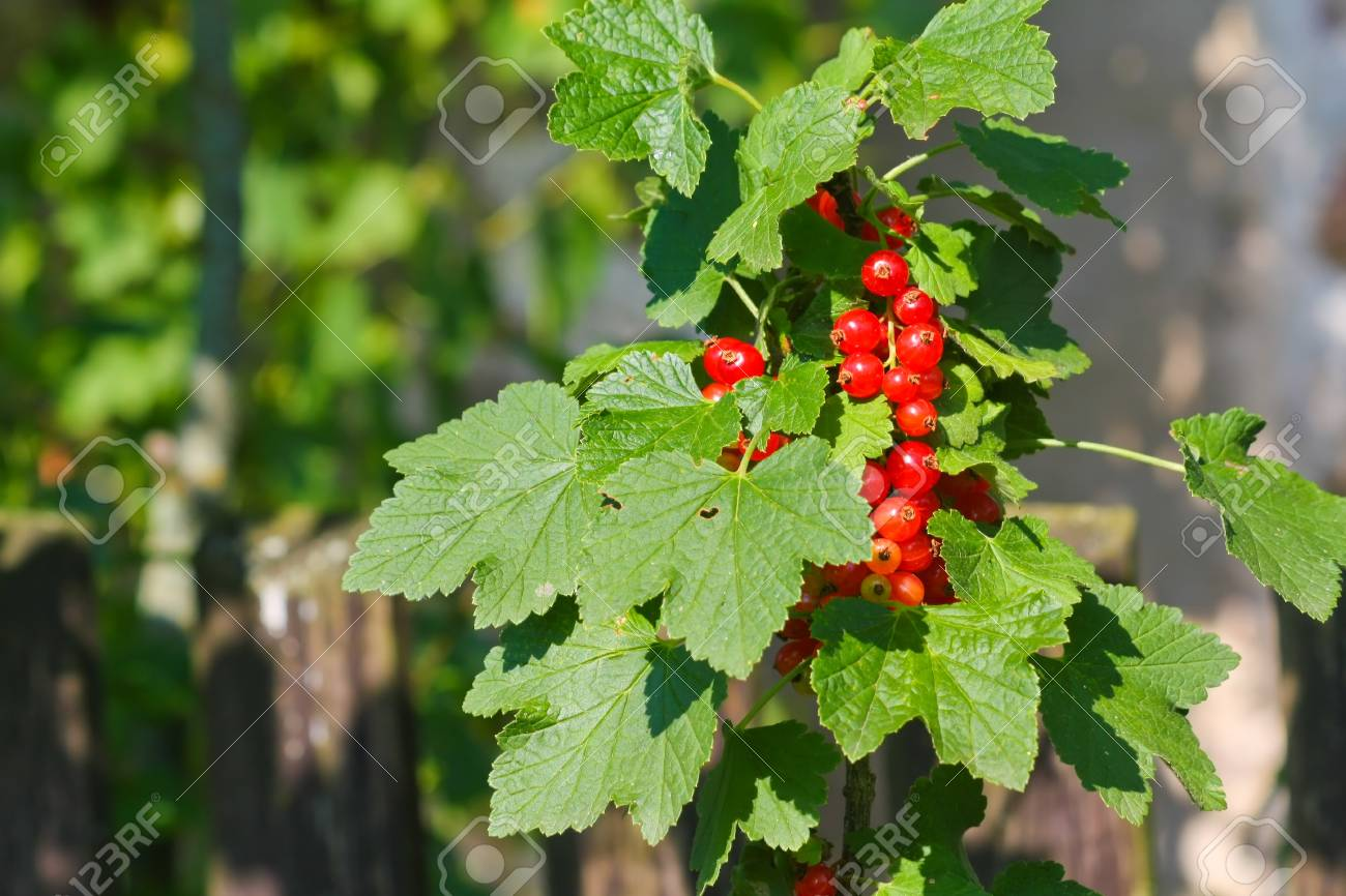 red currant Stock Photo - 9874053