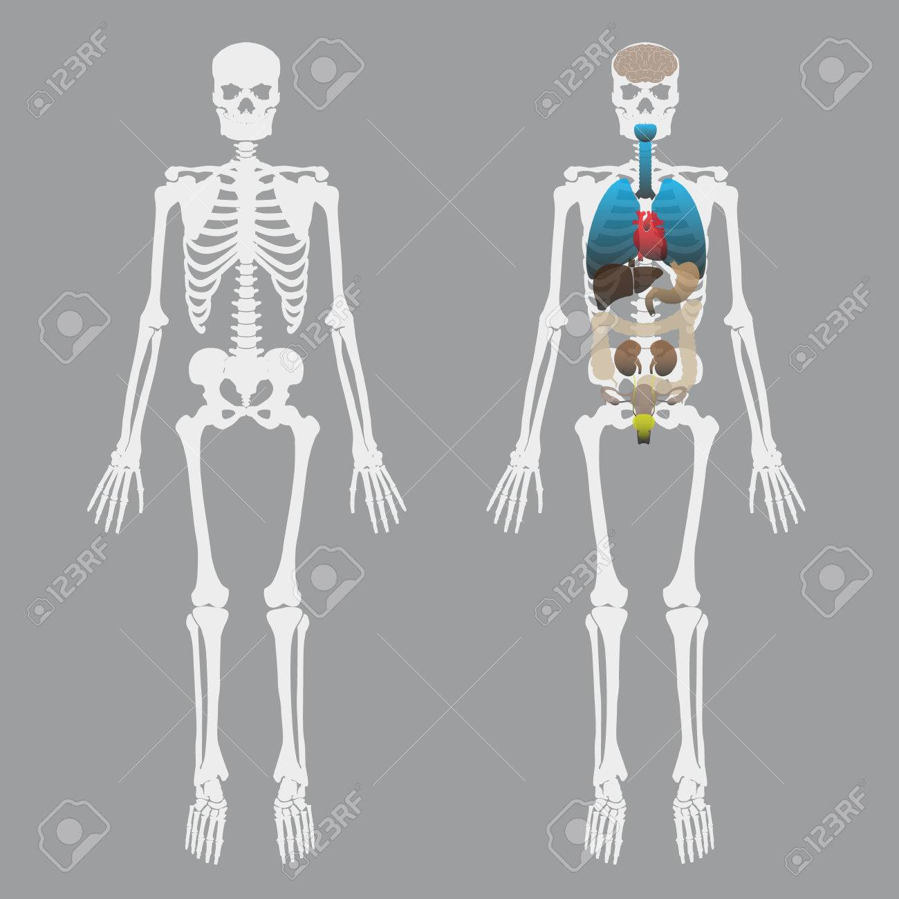 White Human Bones Skeleton With Human Organs Royalty Free Cliparts ...