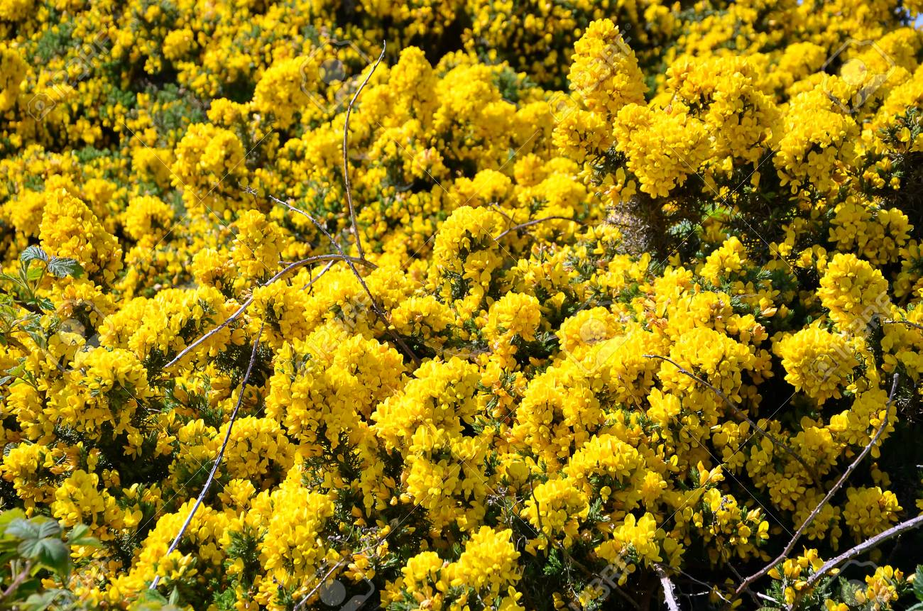 Yellow Flowering Bush Of Flowers Detail Photography Stock Photo
