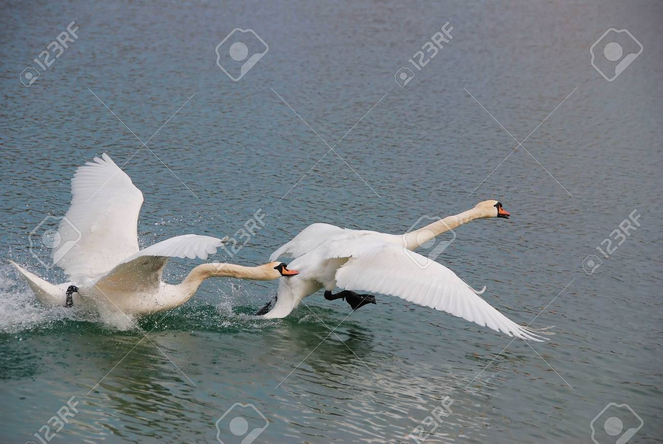One swan pursue another swan on water surface Stock Photo - 4349192