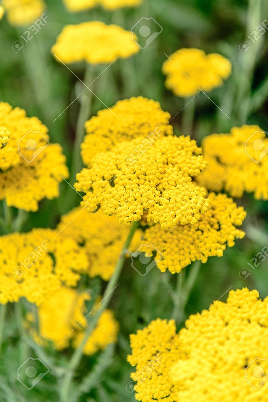 Wild Yellow Flowers In A Field Stock Photo Picture And Royalty Free