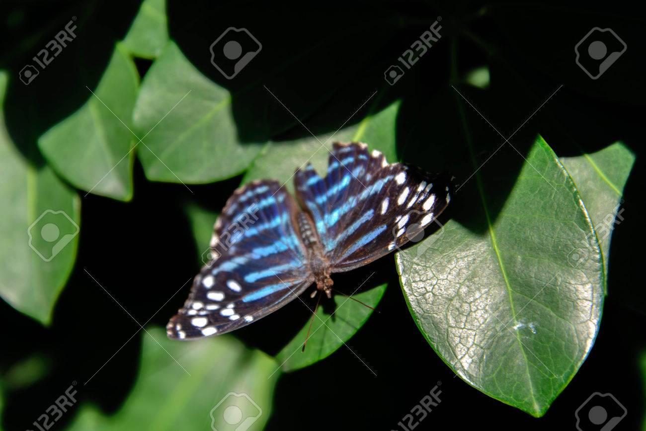 Una Mariposa Azul Metálico De Onda En Una Hoja Fotos, Retratos ...
