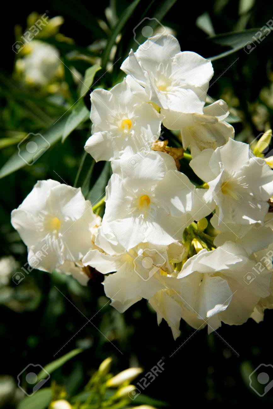White oleander flowers in full bloom stock photo picture and stock photo white oleander flowers in full bloom mightylinksfo